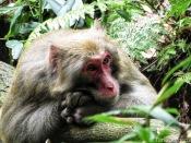 Monkey Zhangjiajie