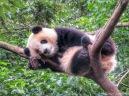 Chilling Panda