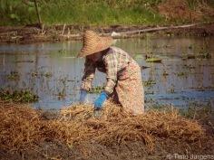 Lady working at Inle Lake