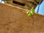 Mantis at Inle Lake