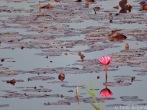 Lotus Inle Lake