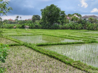 Rice field in front of our hotel