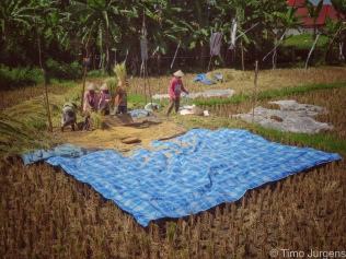 Ladies working at the rice field