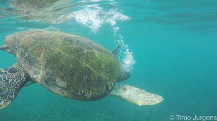 Turtle Ko Tao