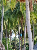 Dodo the coconut hunter